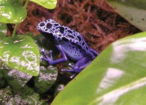 Purple Poison Dart Frog Related Keywords - Purple Poison ...
