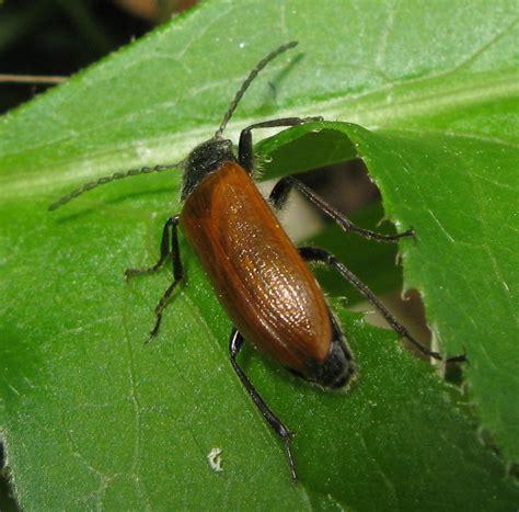 tenebrionidae omophlus sp forum natura mediterraneo forum naturalistico