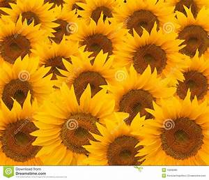 Sunflowers Royalty Free Stock Photo - Image: 10258385