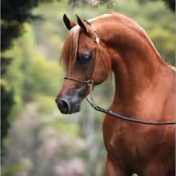 Chestnut Arabian Horses Images & Pictures - Becuo