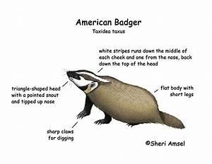 Honey Badger Diagram