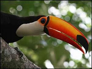 Big-Beaked Toucans Play It Cool : NPR