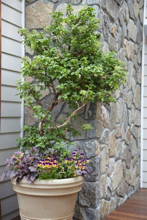 Climbing Hydrangea? In A Pot  Pretty Garden Containers