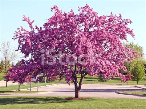 baum mit rosa blüten bl 252 hender baum mit rosa bl 228 tter stockfotos freeimages