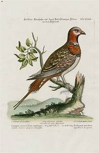 Lagopus Minor From George Edwards Seligmann Edition Parrot