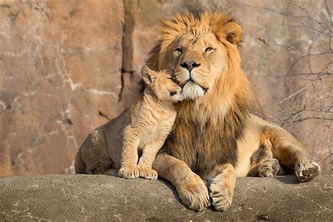 types  lions   worldatlas