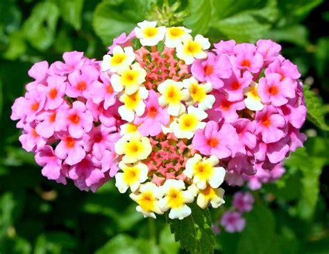 Lantana, o floare care isi schimba culoarea | INGRIJIREA FLORILOR