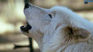 White Wolf Howling Wallpaper Desktop