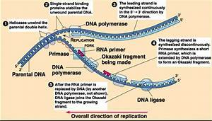 What Is The Primer Used For Dna Replication