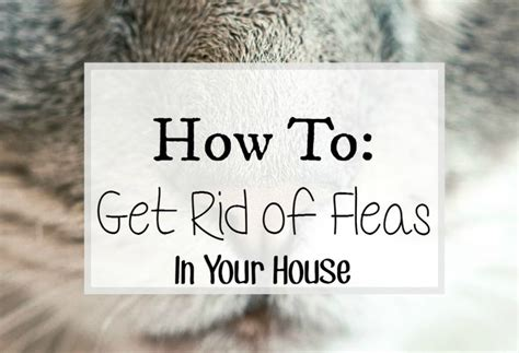 how to rid fleas in house how to get rid of fleas in your house cleaning fleas