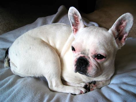 White English Bulldog Breed Information