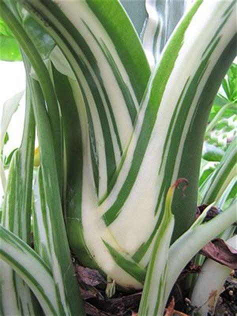 alocasia odora kaufen 17 best images about elephant ear plants on