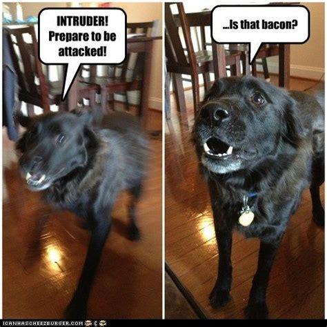 Funny Fail Memes - 14 best guard dogs vs security systems images on pinterest ha ha funny stuff and funny things