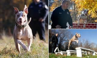 nypd recruits pit bull   latest police dog  claims