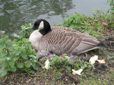 canada goose sitting  eggs kanadagans beim brueten