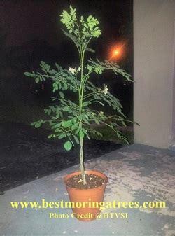 moringa trees  florida texas california arizona