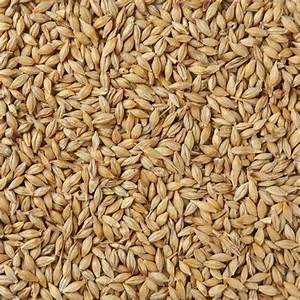 Barley Seeds At Rs 20   Kilogram