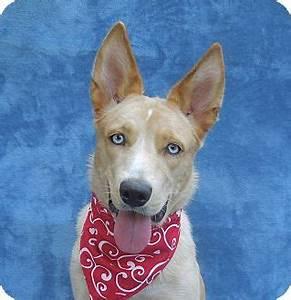 Maxi   Adopted Puppy   Charlotte, NC   Husky/Australian ...