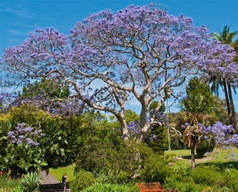 california tree with purple flowers our 5 best flowering trees for southern california landscaping pacific outdoor living