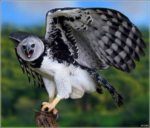 Harpy Eagle Pictures And Wallpapers Pets Cute And Docile