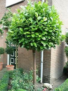 Zwergflieder Auf Stamm : prunus laurocerasus rotundifolia cherry laurel standard ~ Lizthompson.info Haus und Dekorationen