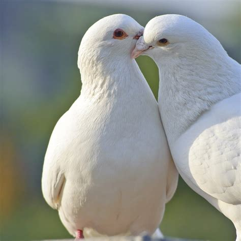 doves pet birds info article and pictures pet yak