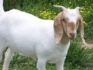Boer Goat Doe