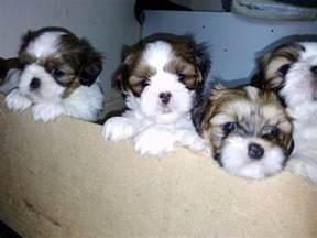 shih tzu x lhasa apso puppies hull east riding of