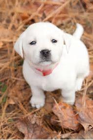 White Labrador Retriever Puppy