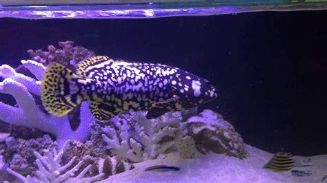 grouper queensland