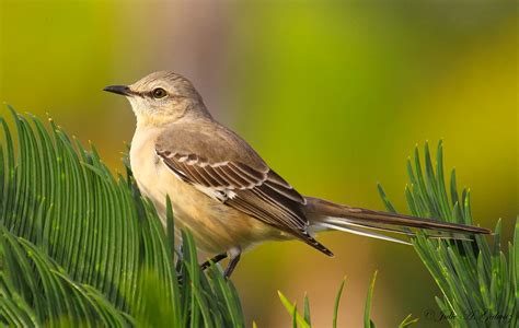 top 28 common birds of florida sanderling common