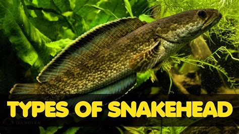 types  freshwater snakehead fish youtube