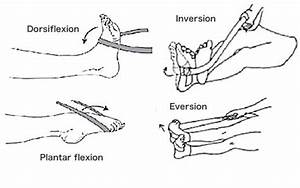 Dorsiflexion  Muscles  U0026 Exercises