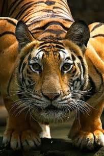 Best Lions Tigers Images Pinterest