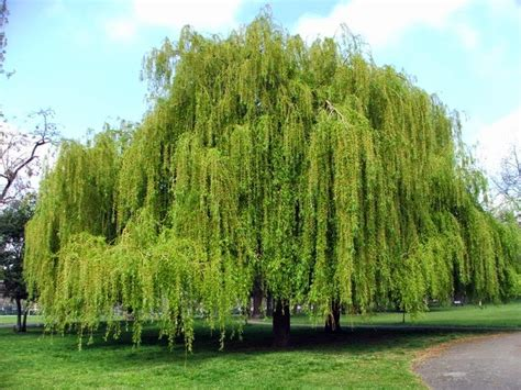 weeping willow tree trees planet salix babylonica babylon willow weeping willow