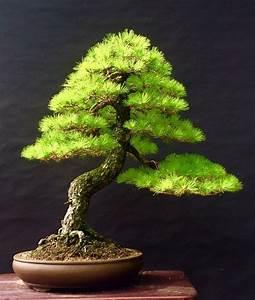 Bonsai Pflege Für Anfänger : 14 besten bonsai bilder auf pinterest bonsai kleine b ume und pflanzen ~ Frokenaadalensverden.com Haus und Dekorationen