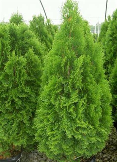 balsam fir tree water nh nursery garden center the black forest nursery and