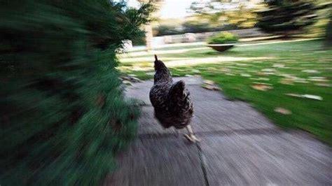 Chicken Running Meme - le cou de crayon on twitter quot high by the beach lana del rey 2015 running chicken meme 2014