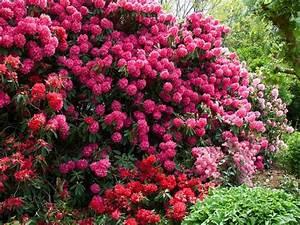 Arbuste Persistant Croissance Rapide : cultiver les rhododendrons ~ Premium-room.com Idées de Décoration