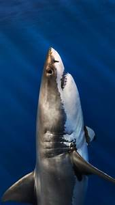 Ultra Hd Great White Shark Wallpaper For Your Mobile Phone