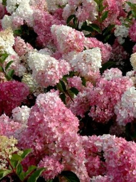 hortensia vanille fraise hortensia panicul 233 vanille fraise 174 hydrangea paniculata le jardin du pic vert