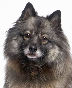 Keeshond dog breed information | Noah's Dogs