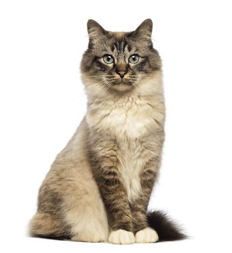 cat breeders birman breeders australia birman info kittens