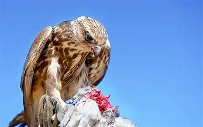 Hawk Wallpapers Bird Resolution Desktop Backgrounds Birds