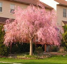 weeping cherry tree losing leaves best 25 fast growing trees ideas on pinterest fast growing privacy bushes fast growing and
