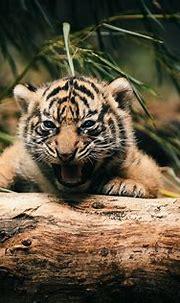 White Tiger Cub Wallpaper ·① WallpaperTag