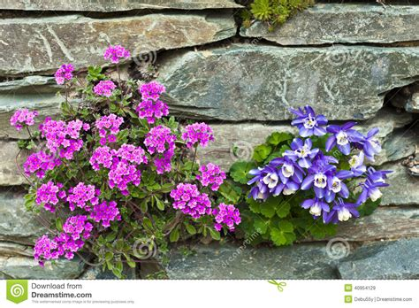 flowers for rockery pink and blue alpine flowers in a rockery stock photo image 40954129