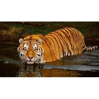 Bengal Tiger - Facts Pictures Habitat Information Diet