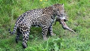 Escaped Jaguar Kills 6 Animals At New Orleans Zoo - YouTube  Jaguar