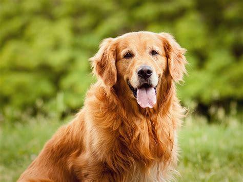 Golden retriever dogtime